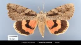Catocala amatrix image