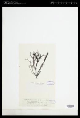 Halopithys incurva image