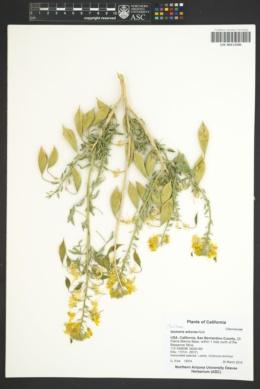 Peritoma arborea image