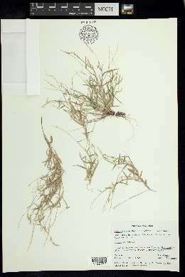 Image of Hilaria annua