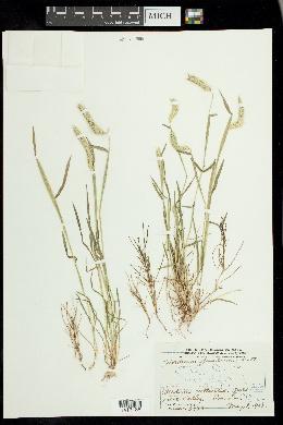 Hordeum pusillum image
