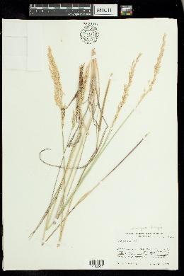 Leucopoa kingii image