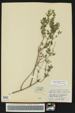Philadelphus mearnsii image