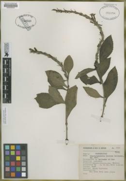 Image of Stachytarpheta hintonii