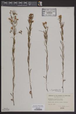 Image of Lysimachia longifolia