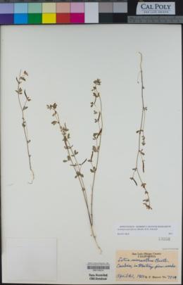 Acmispon parviflorus image