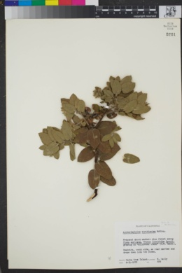 Image of Arctostaphylos viridissima