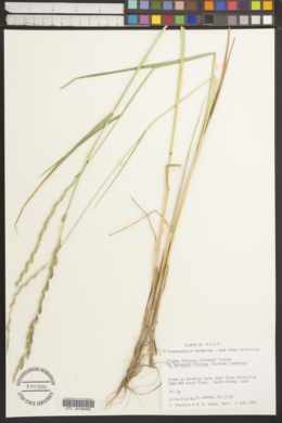 Image of Roegneria fibrosa