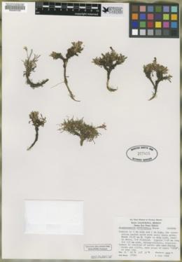 Stephanomeria monocephala image