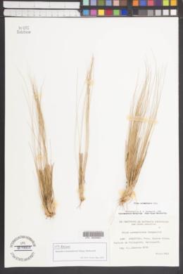 Image of Nassella curamalalensis