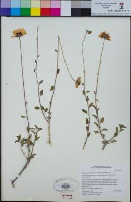 Image of Encelia asperifolia
