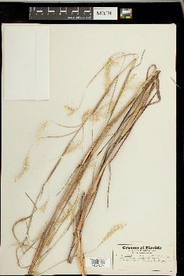 Andropogon cabanisii image
