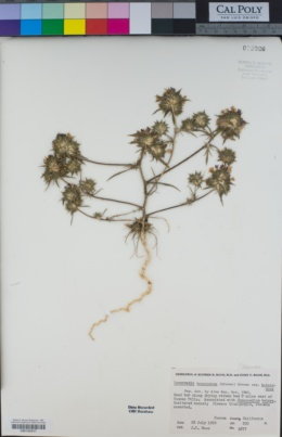 Navarretia heterodoxa image