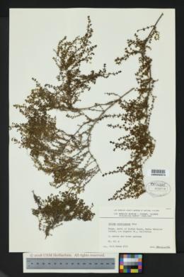 Image of Galium catalinense