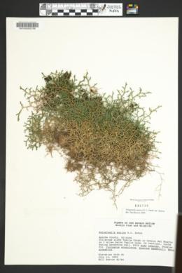 Selaginella mutica var. mutica image