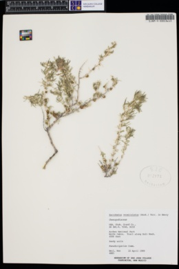 Sarcobatus vermiculatus image