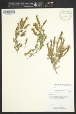 Phacelia higginsii image
