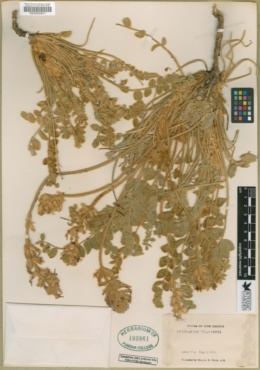Astragalus mollissimus var. bigelovii image