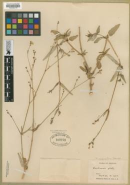 Boerhavia megaptera image
