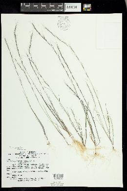 Aristida necopina image