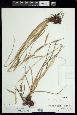 Image of Carex tunimanensis