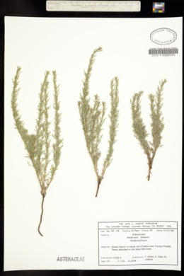 Image of Ambrosia linearis