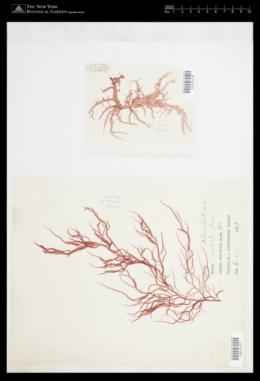 Helminthocladia australis image