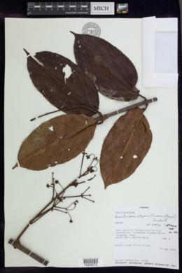 Banisteriopsis elegans image