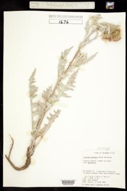Cirsium barnebyi image
