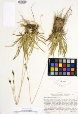 Image of Carex fissuricola