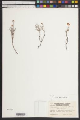 Image of Eriogonum butterworthianum