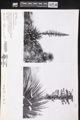Furcraea quicheensis image