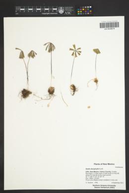 Oxalis decaphylla image