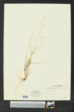 Sporobolus microspermus image