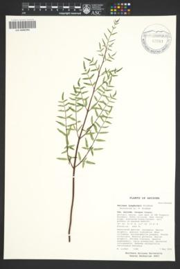 Pellaea lyngholmii image