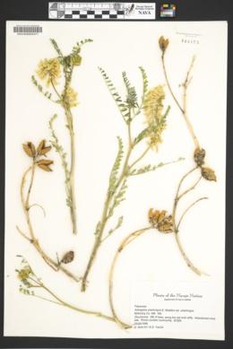 Astragalus praelongus var. praelongus image