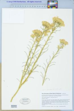 Ericameria nauseosa var. turbinata image