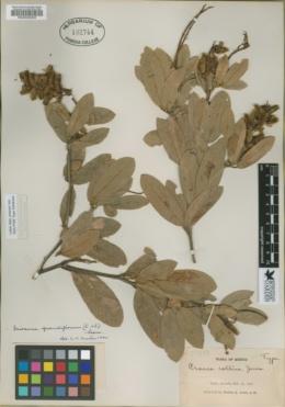 Image of Eriosema grandiflorum