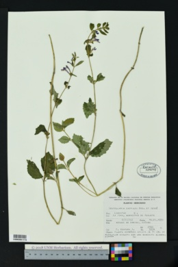 Image of Scutellaria caerulea