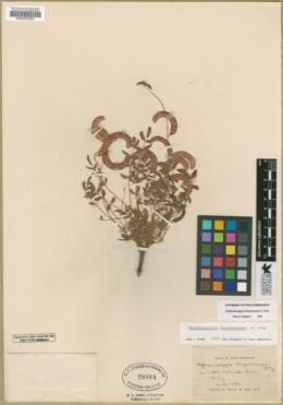 Caesalpinia drepanocarpa image