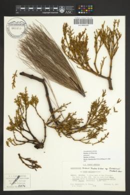 Arceuthobium aureum subsp. petersonii image
