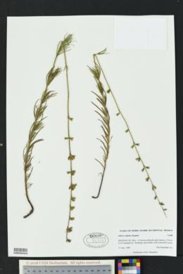 Image of Salvia reptans