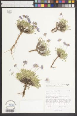 Erigeron carringtoniae image