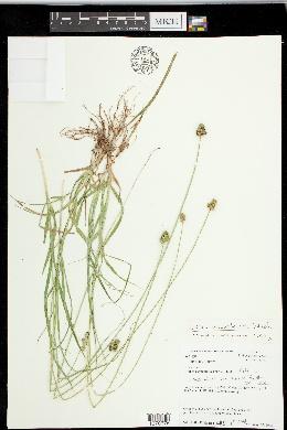 Carex mesochorea image