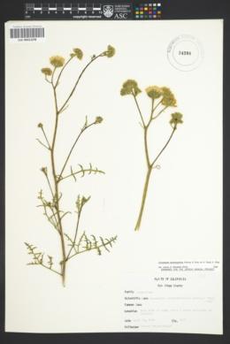 Image of Chaenactis artemisiaefolia