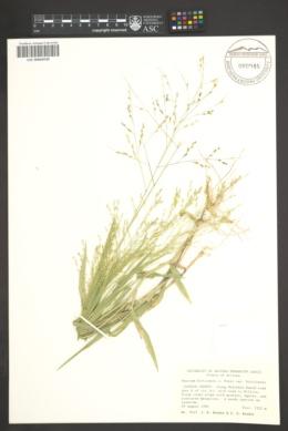 Panicum hirticaule var. hirticaule image