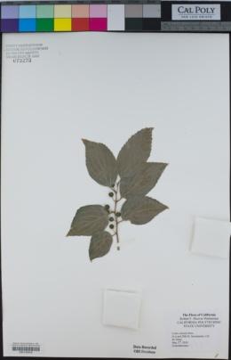 Celtis sinensis image