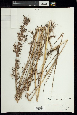 Image of Hyparrhenia bracteata