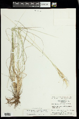 Image of Hesperostipa curtiseta