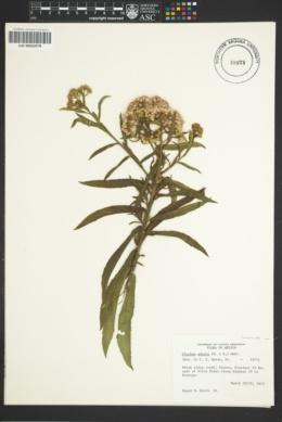 Image of Pluchea adnata